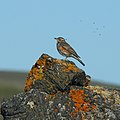 Redwing on rock by Bruce McAdam.jpg