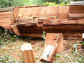 "Redwood Tree (Sequoia sempervirens) fallen over ""Orick Horse Trail"".jpg"