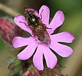 Rhingia campestris (female) - Flickr - S. Rae (1).jpg