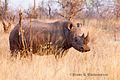 Rhino at Mosi-Oa-Tuniya.jpg