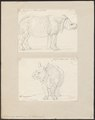 Rhinoceros unicornis - 1700-1880 - Print - Iconographia Zoologica - Special Collections University of Amsterdam - UBA01 IZ22000205.tif