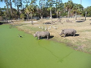 Jacksonville Zoo and Gardens - Two white rhinoceros heading into the water