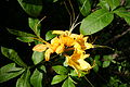 Rhododendron calendulaceum - Arnold Arboretum - DSC06717.JPG