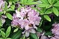 Rhododendron catawbiense Grandiflorum 10zz.jpg