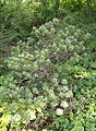 Rhododendron hippophaeoides - Botanischer Garten, Frankfurt am Main - DSC03371.JPG
