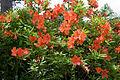 Rhododendron japonicum 11.jpg
