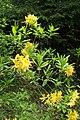 Rhododendron luteum kz03.jpg