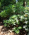 Rhododendron sutchuenense - VanDusen Botanical Garden - Vancouver, BC - DSC06899.jpg