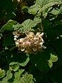 Ribes viscosissimum 15702.JPG