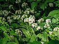 Riedholz, Allium ursinum 20090516 002.jpg