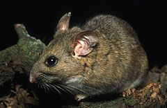 Riparian woodrat neotoma fuscipes riparia endangered mammal species.jpg