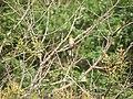 Rishi Valley School - Pycnonotus xantholaemus.jpg