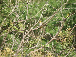 Yellow-throated bulbul - In scrub habitat