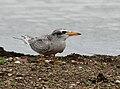 River Tern (Sterna aurantia)- Immature W IMG 0111.jpg