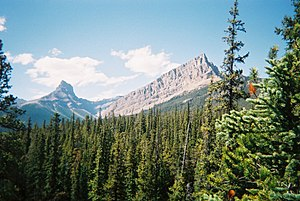 evergreens and mountains in Alberta