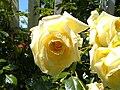 "Rosa ""Elfe""1.JPG"