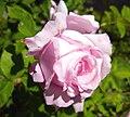 Rosa 'Coupe d'Hébé'.jpg