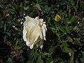 Rosa Chopin 2018-07-16 6272.jpg