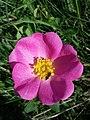 Rosa gallica sl28.jpg