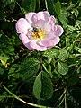 Rosa gallica sl92.jpg