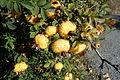 Rosa roxburghii - Quarryhill Botanical Garden - DSC03251.JPG