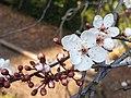 Rosales - Prunus cerasifera - 6.jpg