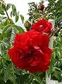 Rosarium Baden Rosa 'Belkanto' Noack 2004.jpg