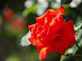 Rose, Tchin-Tchin, バラ, チンチン, (15525329816).jpg