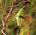 Rose-ringed parakeet in action.jpg