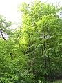 Rotbuche im Isseltal (Hoch-Weisel) 06.JPG