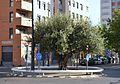 Rotonda amb olivera entre els carrers del Duc de Mandas i sant Vicent de Paül, València.JPG