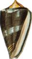 Royal cone-conus regalitatus.png