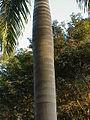 Roystonea dunlapiana5.jpg