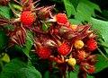 Rubus phoenicolasius B.jpg
