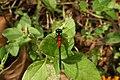 Ruby tailed hawklet male from Valparai Anamalai hills IMG 4903.jpg