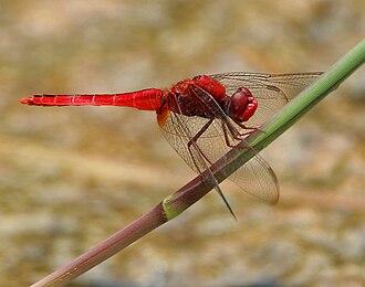 Libellulidae - Image: Ruddy Marsh Skimmer (Crocothemis servilia) male W IMG 0512