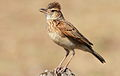 Rufous-naped Lark, Mirafra africana at Pilanesberg National Park, South Africa (10478864443).jpg