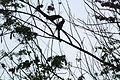 Rufous treepie(46-50 cm).jpg