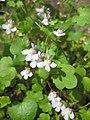 Ruhland, Grenzstr. 3, Mauer-Zimbelkraut im Garten, blühend, Frühling, 08.jpg