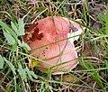 Russula sp. ? (25941597078).jpg