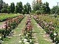 Ruston's Rose garden 6.JPG