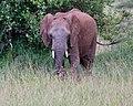 Rusty the elephant (28976423708).jpg