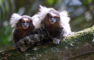 Common marmoset - Two marmosets