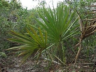 <i>Sabal etonia</i> species of plant