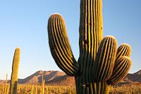 Saguaro - Flickr - Joe Parks.jpg