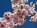 Saint Petersburg. Chinese Garden. Sakura tree2014 02.jpg