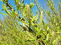 Salix alba 002.jpg