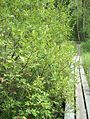 Salix aurita Virpapaju C H7643.jpg