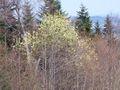 Salix caprea 15.jpg