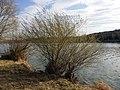 Salix purpurea sl30.jpg